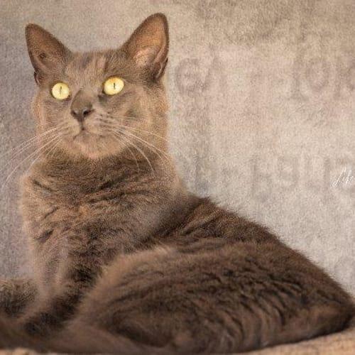 Renaldo - Domestic Medium Hair Cat