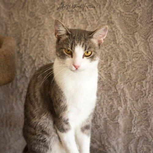 Kirbee - Domestic Short Hair Cat