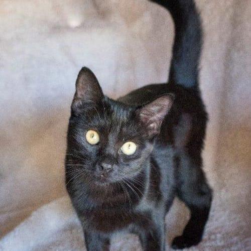 Jaspar - Domestic Short Hair Cat