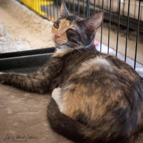 Gypsey - Domestic Short Hair Cat