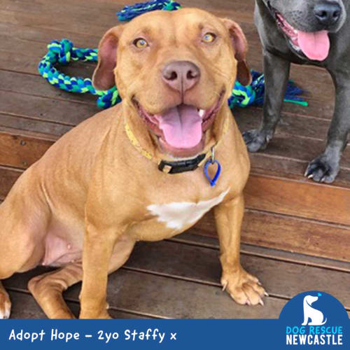 Hope ~ gorgeous 2yo Staffy x - Staffy Dog