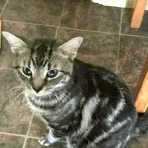 Claus - Domestic Short Hair Cat