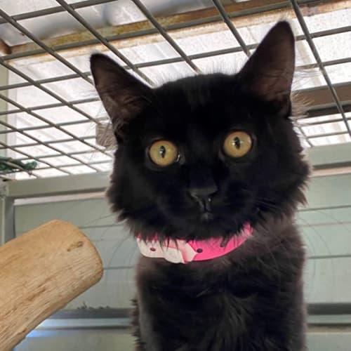 3825 - Domestic Short Hair Cat