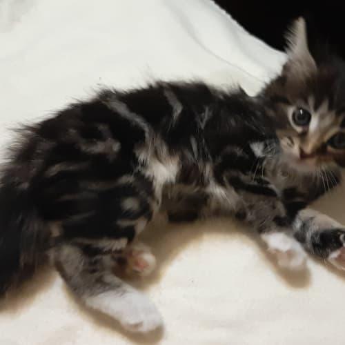 Carson - Domestic Medium Hair Cat