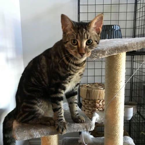 Astra - Domestic Short Hair Cat