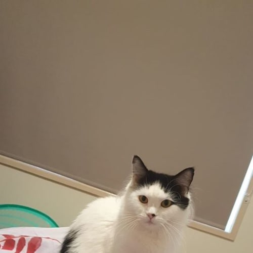 Stella - Domestic Medium Hair Cat