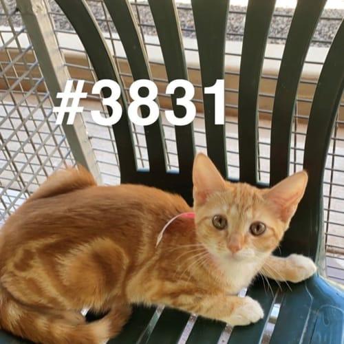 3831 - Domestic Short Hair Cat