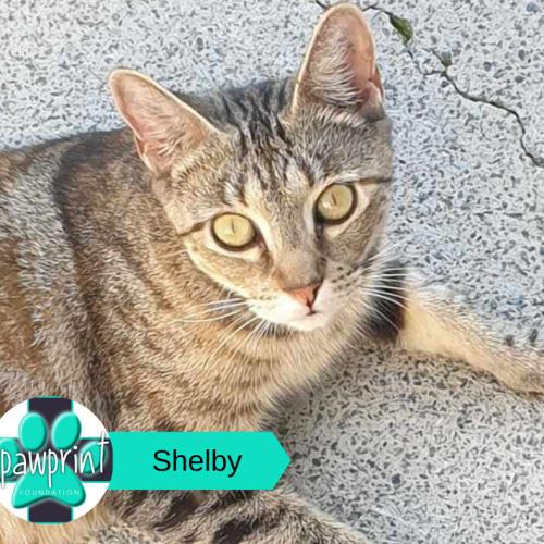 Shelby - Manx Cat