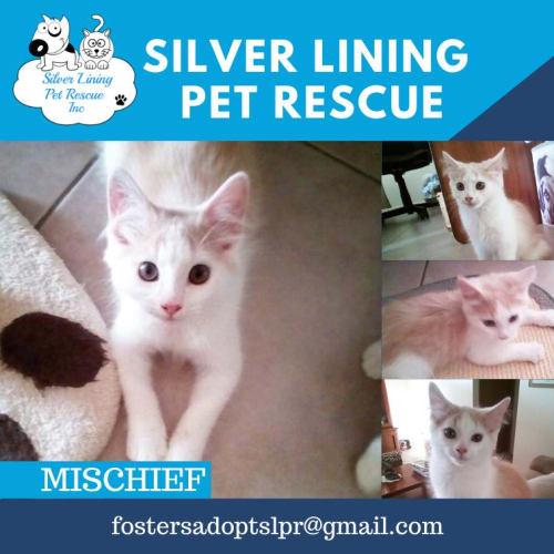 Mischief - Domestic Short Hair Cat