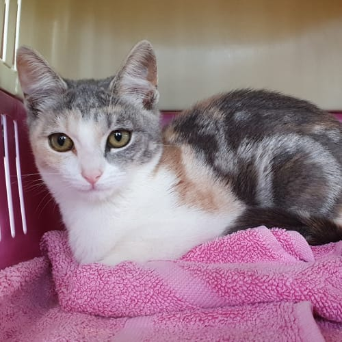 Mango - Domestic Short Hair Cat
