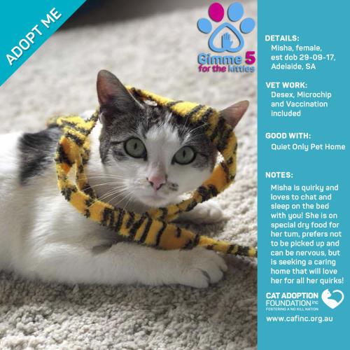 Misha - Domestic Short Hair Cat