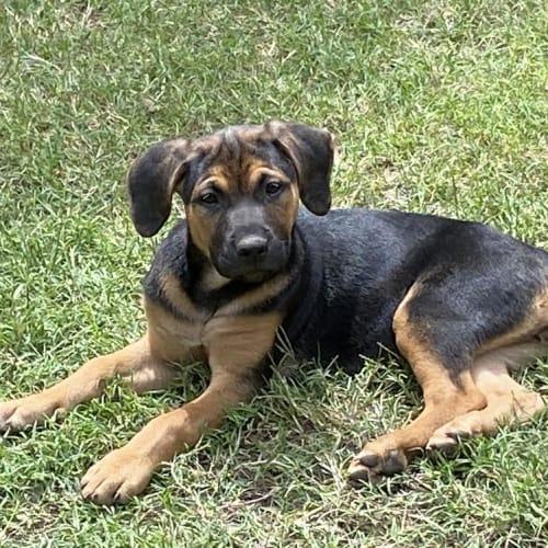 Betty  - Kelpie Dog