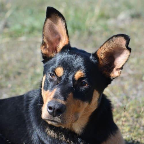 Barry  - Kelpie Dog