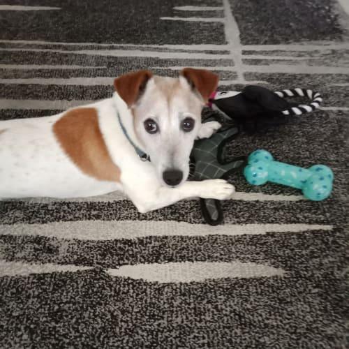 Charlie DL2407 - Jack Russell Terrier Dog