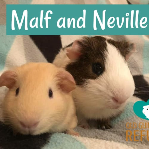 Malf and Neville (indoor home only) - Smooth Hair Guinea Pig