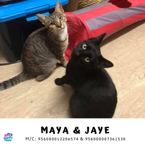 Maya and Jaye - Abyssinian x Domestic Short Hair Cat
