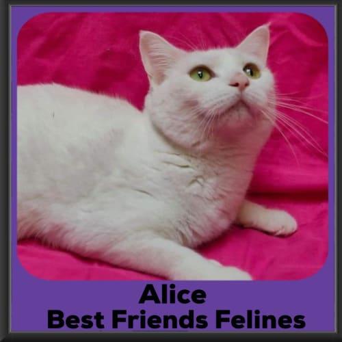 Alice  - Manx Cat