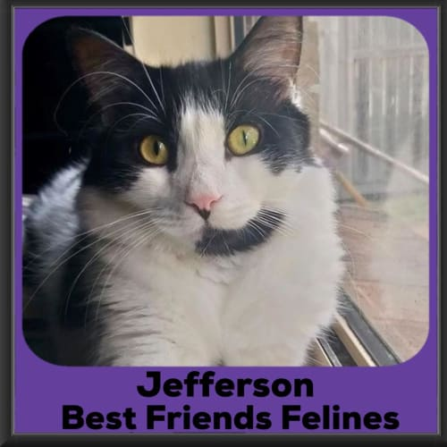 Jefferson  - Domestic Medium Hair Cat