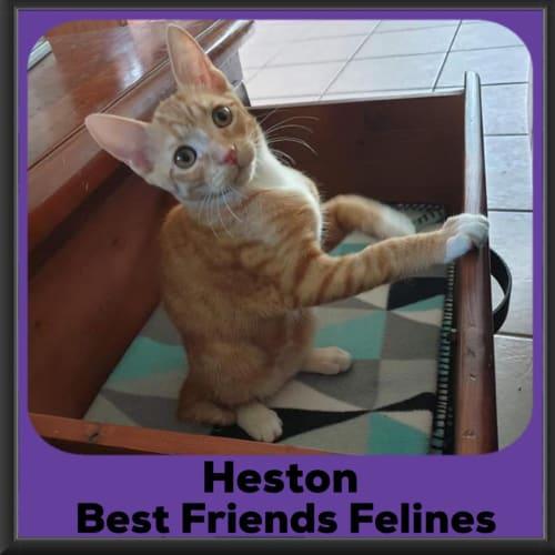 Heston - Manx Cat