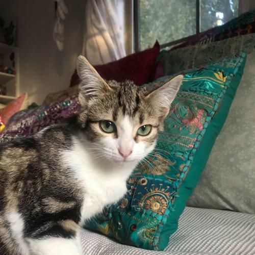 Mia ❤ - Domestic Short Hair Cat