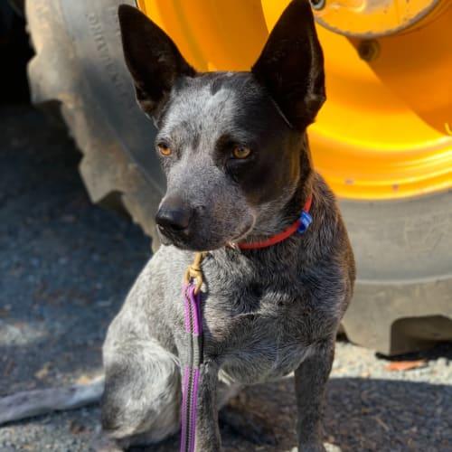 Billi - Blue Heeler Dog