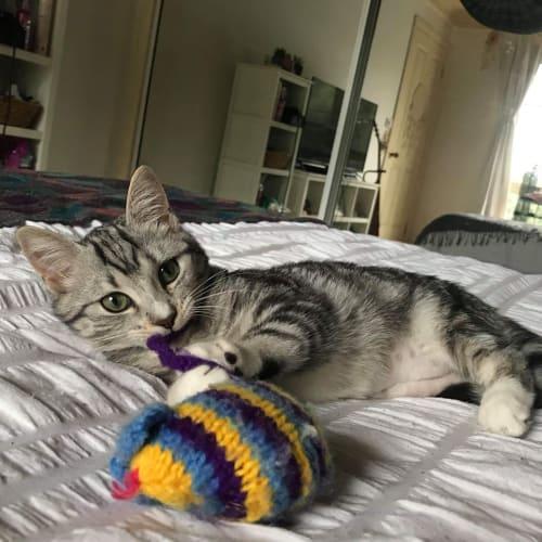 Paisley ❤ - Domestic Short Hair Cat