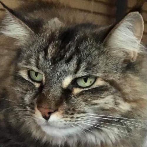 Mishi - Domestic Long Hair Cat