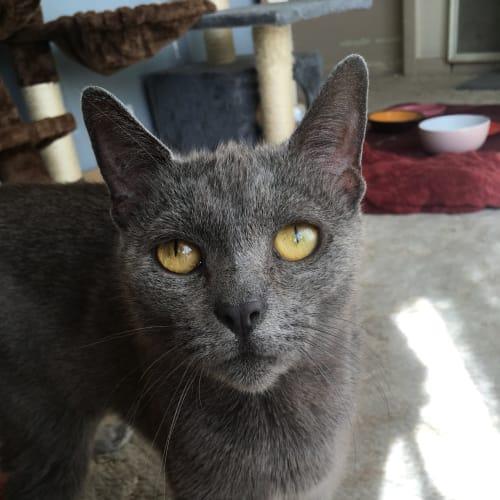 Malibu (Located in Sandringham) - Domestic Short Hair Cat