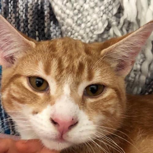 Marmaduke (Located in Reservoir) - Domestic Short Hair Cat