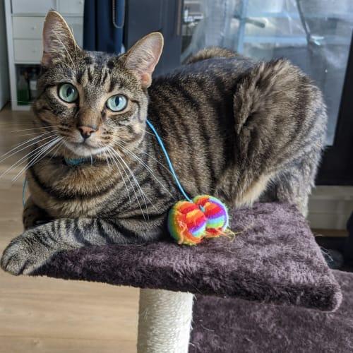 Flash (Located in St Kilda) - Domestic Short Hair Cat
