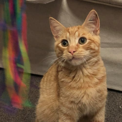 Gus (Located in Essendon) - Domestic Short Hair Cat