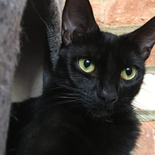 Manaj (Located in Lilydale) - Domestic Short Hair Cat