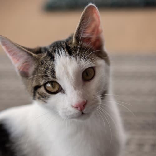Elmo - Domestic Short Hair Cat