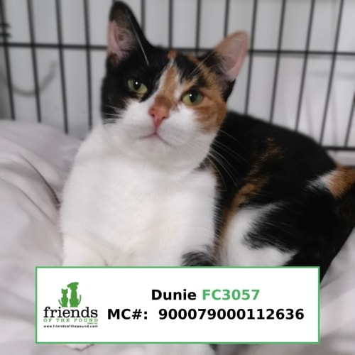 Dunie (Doo-nee) - Domestic Short Hair Cat