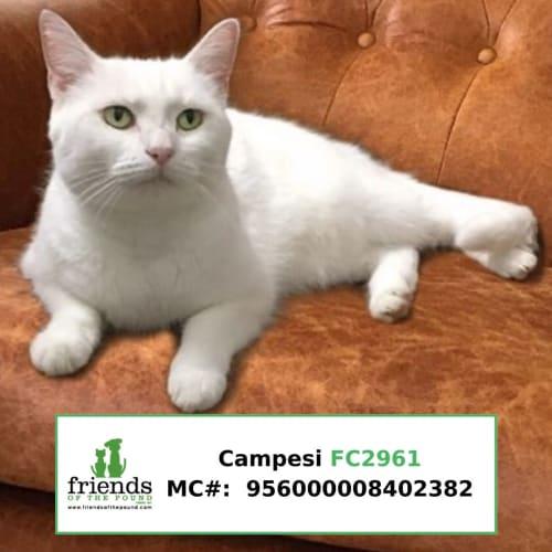Campesie - Domestic Short Hair Cat