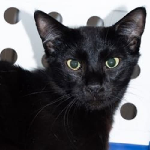 Stefan - Experienced Foster Carer Needed! - Domestic Short Hair Cat