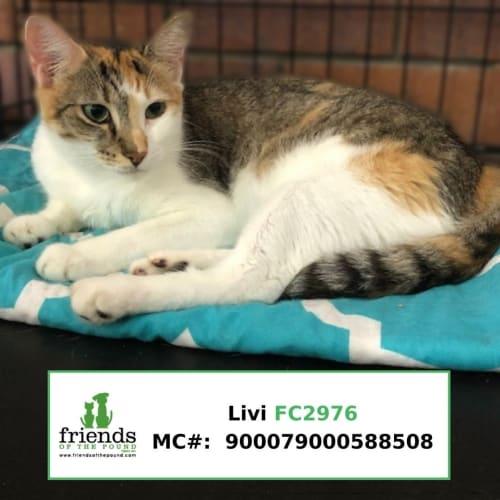 Livi - Domestic Short Hair Cat