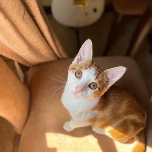 Sammi - Domestic Short Hair Cat