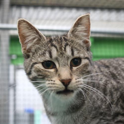 Lijah - Domestic Short Hair Cat
