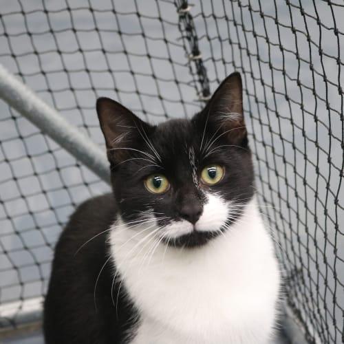 Nessie 941375 - Domestic Short Hair Cat