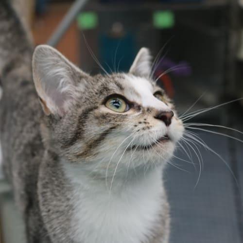 Ark 941376 - Domestic Short Hair Cat