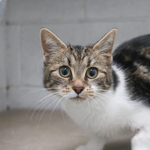 Vada 941374 - Domestic Short Hair Cat