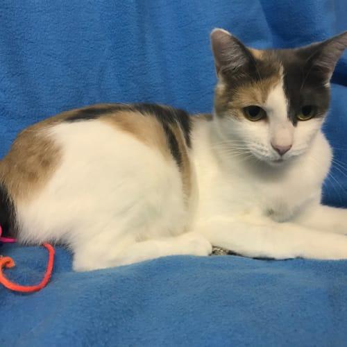 Queen Sarabi - Manx Cat
