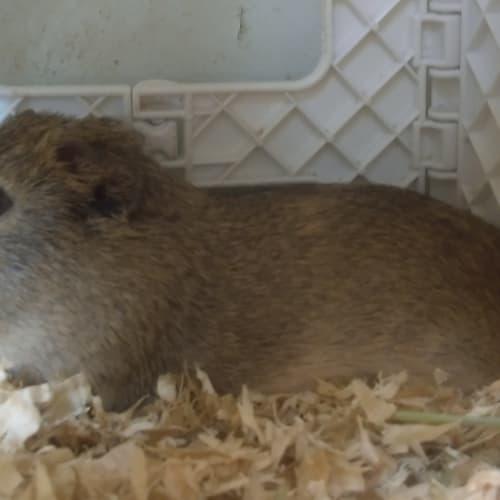 Honks - Smooth Hair Guinea Pig