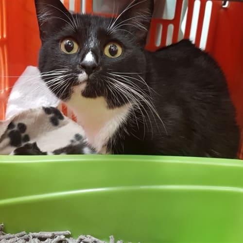 Beautiful Boop - Domestic Short Hair Cat