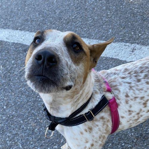 Lulu - Heeler, Red Dog