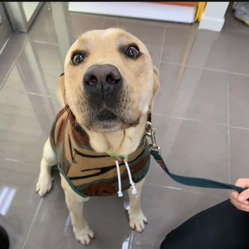 Jackson - Labrador Retriever Dog