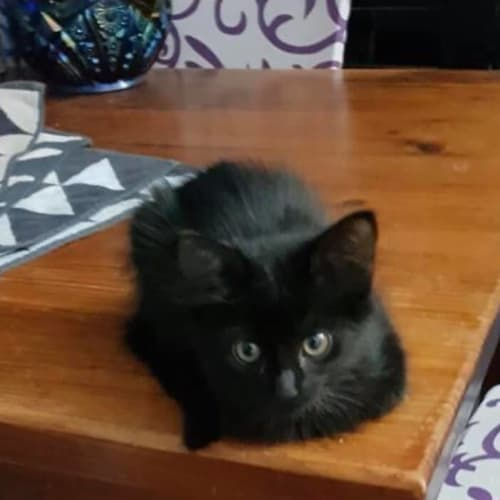 Lucy - Domestic Medium Hair Cat