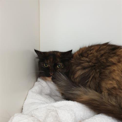 Suzie - Domestic Medium Hair Cat