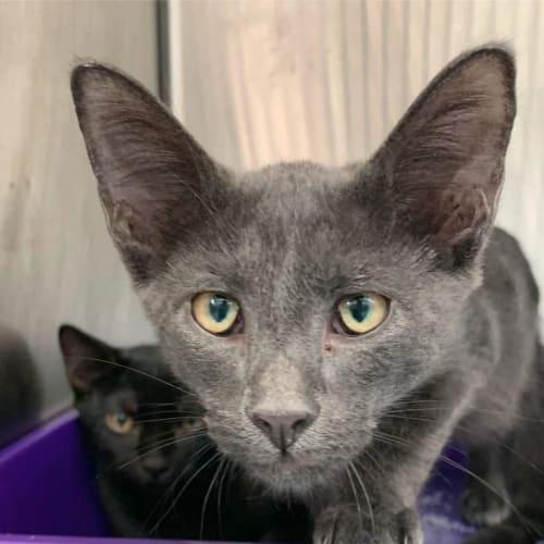 Wolfe - Domestic Short Hair Cat